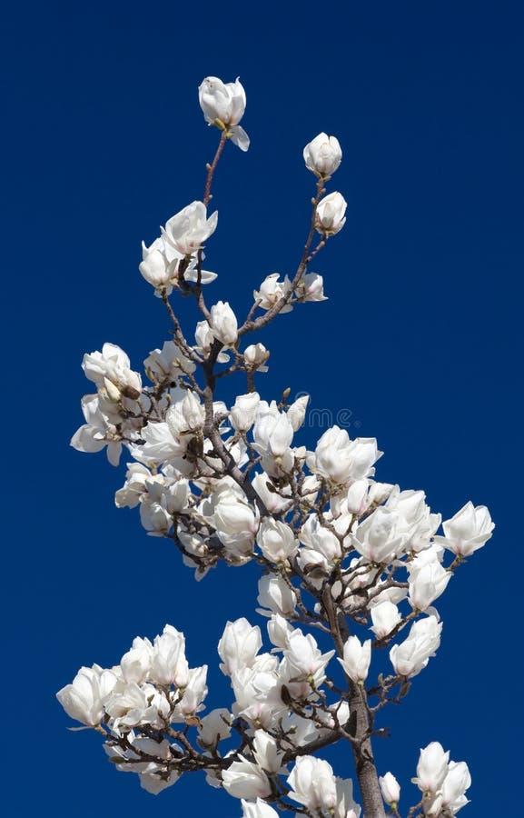 Fiori bianchi della magnolia immagine stock libera da diritti