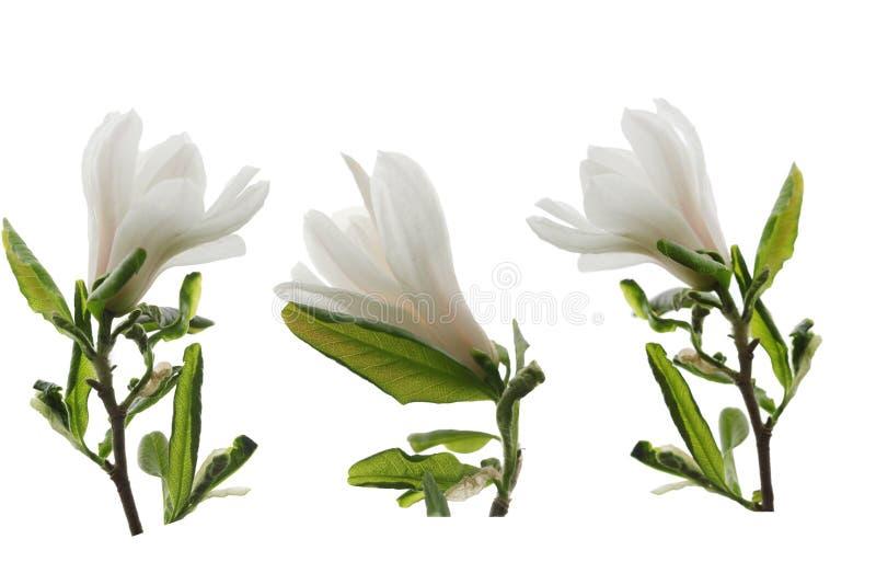 Fiori bianchi della magnolia messi fotografia stock
