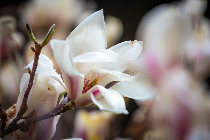 Fiori bianchi della magnolia in piena fioritura Bella magnolia cremosa fotografie stock libere da diritti