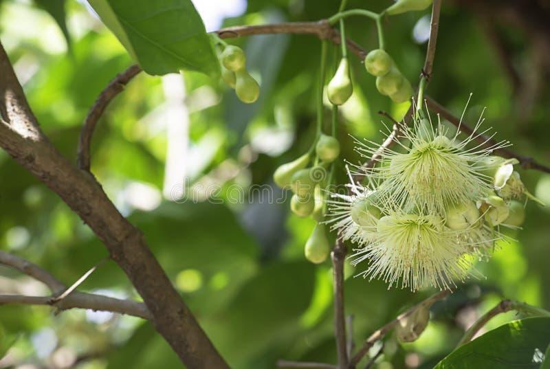 Fiori bianchi della melarosa sull'albero in giardino fotografia stock