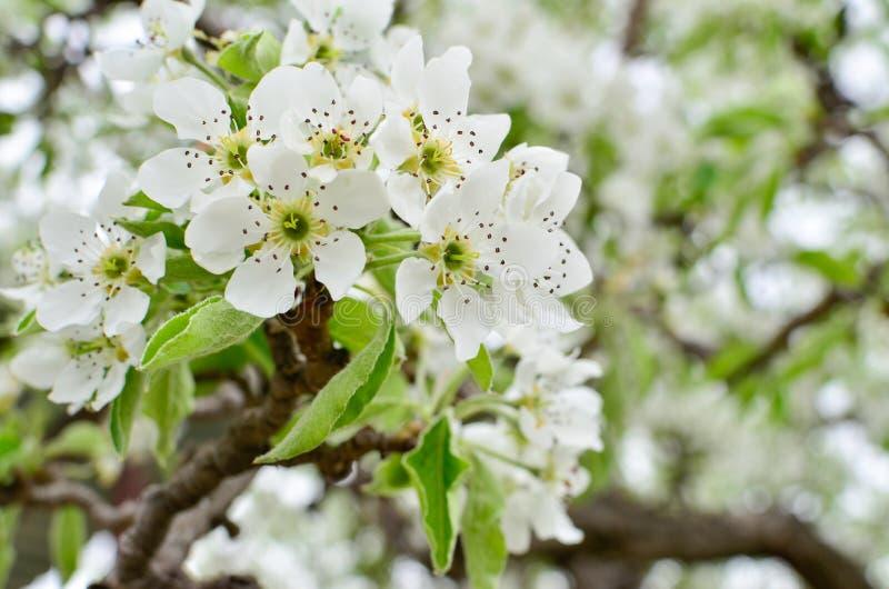 Fiori bianchi della molla su un primo piano dell'albero fotografia stock
