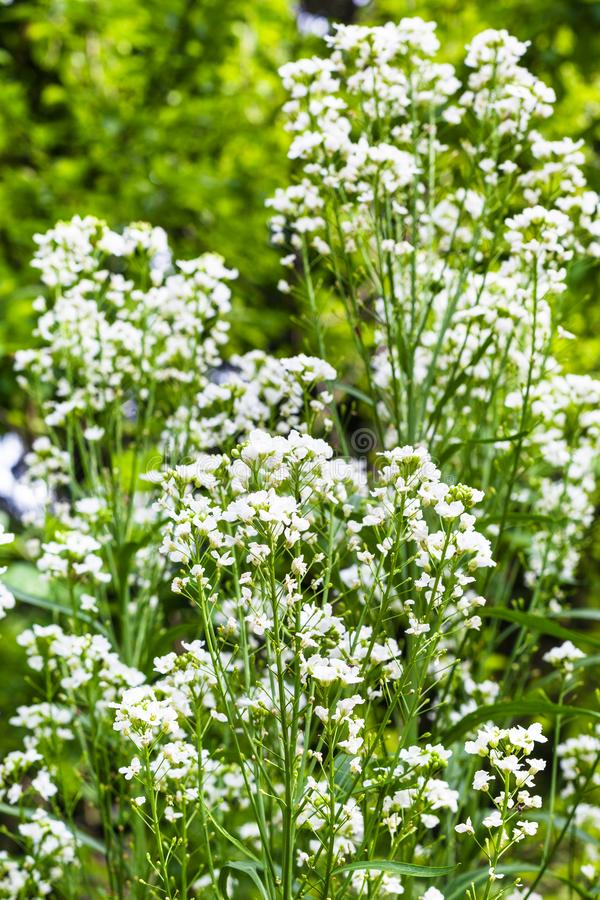 fiori bianchi della pianta del rafano in giardino immagine stock libera da diritti