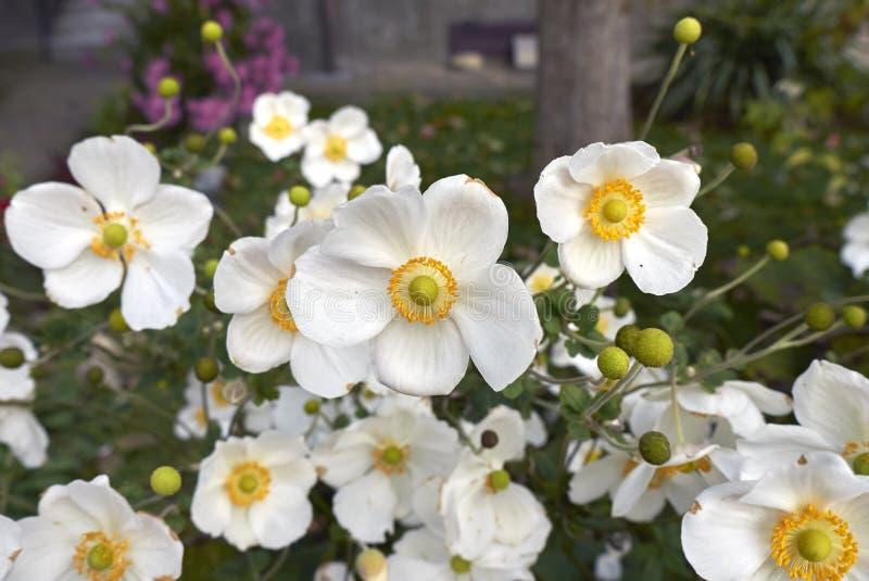 Fiori bianchi della pianta di japonica dell'anemone fotografia stock libera da diritti