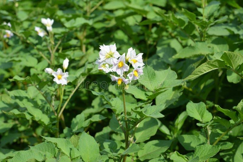 Fiori bianchi della pianta di patate Fiori della patata che fioriscono nel giardino fotografie stock