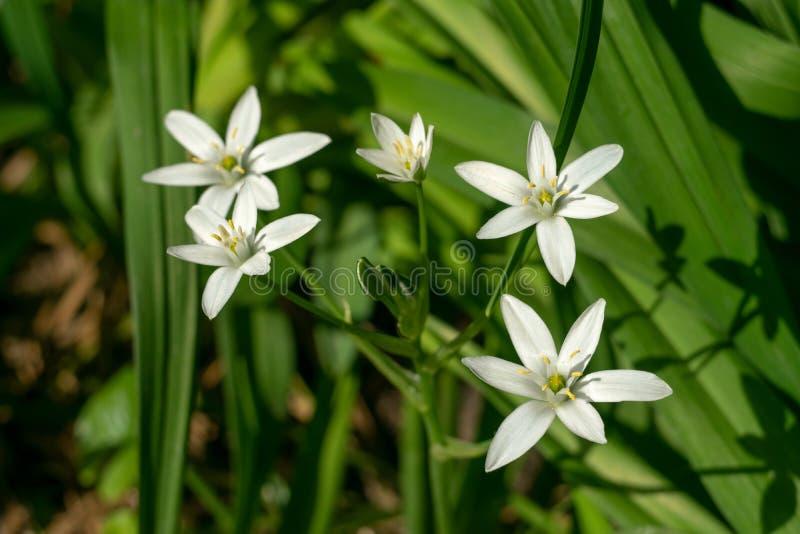 Fiori bianchi della primavera nel giardino Bellezza e tenerezza fotografie stock libere da diritti