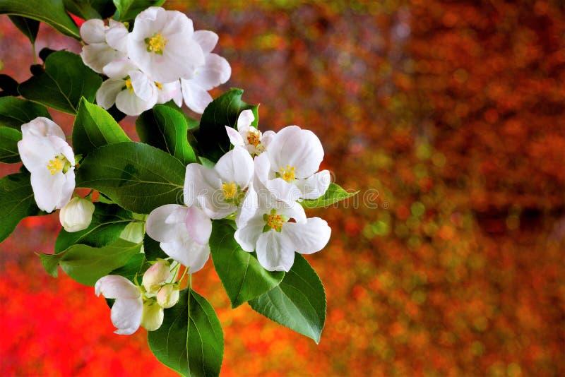 Fiori bianchi della primavera su uno sfondo naturale creativo luminoso La natura sveglia in primavera ringiovanita e riempita di  fotografia stock libera da diritti