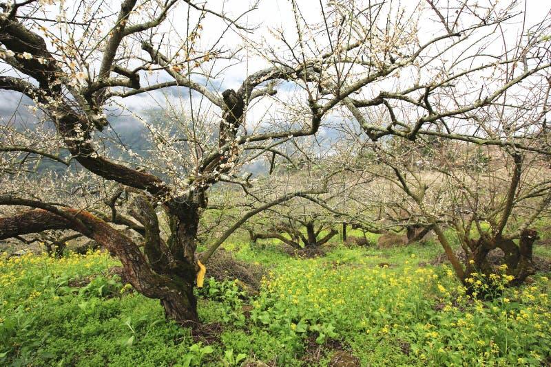 Fiori bianchi della prugna che fioriscono sugli alberi fotografie stock