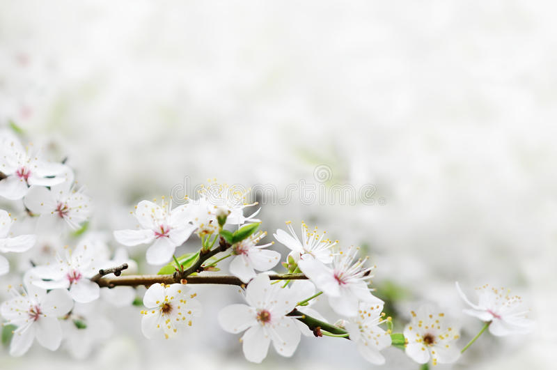 Fiori bianchi della sorgente su una filiale di albero fotografia stock