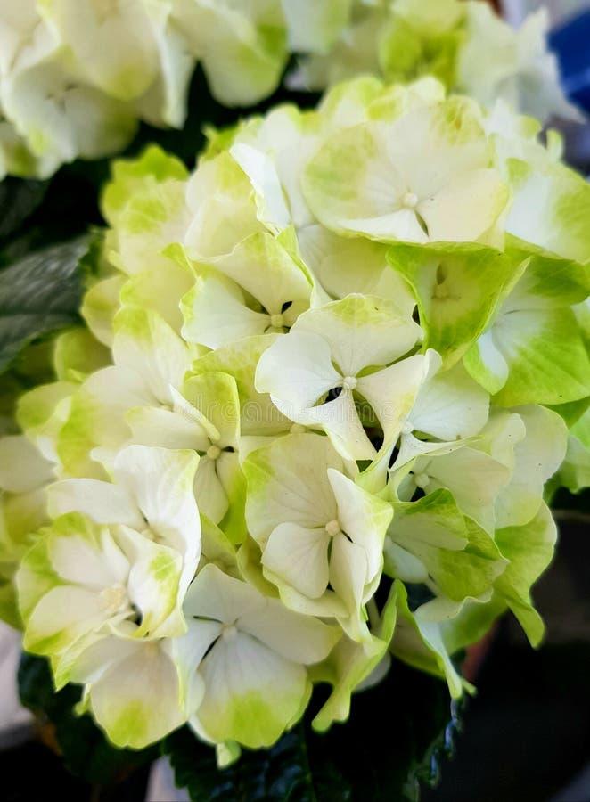 fiori bianchi delle ortensie Bei fiori immagini stock