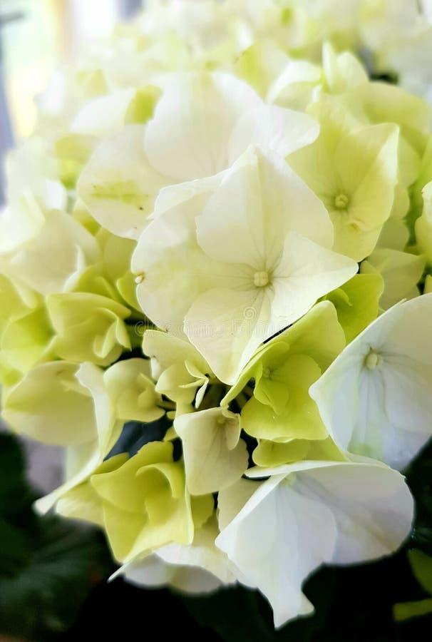 fiori bianchi delle ortensie Bei fiori fotografia stock