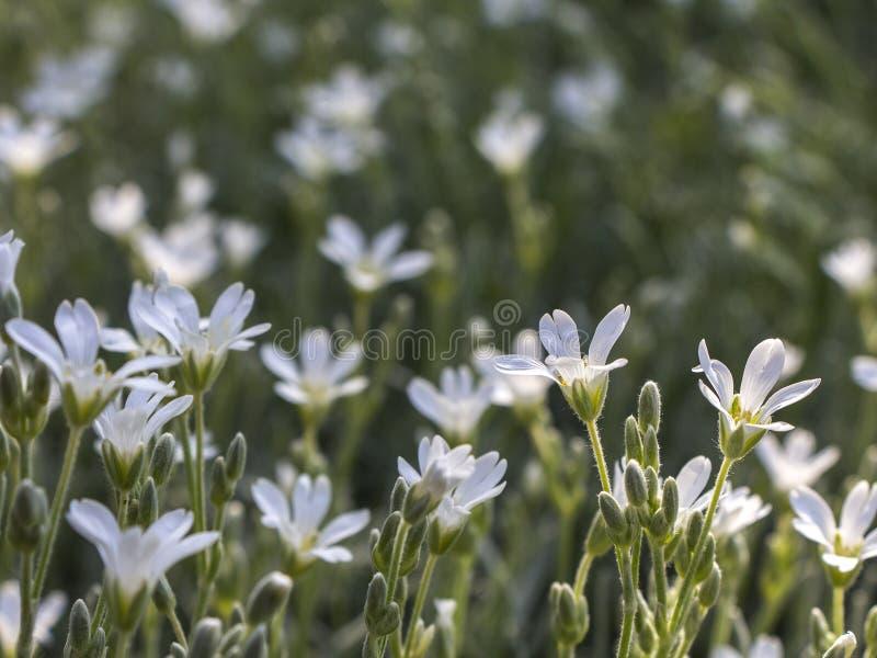 Fiori bianchi di fioritura di estate Piccolo fondo del prato del fiore bianco fotografie stock libere da diritti
