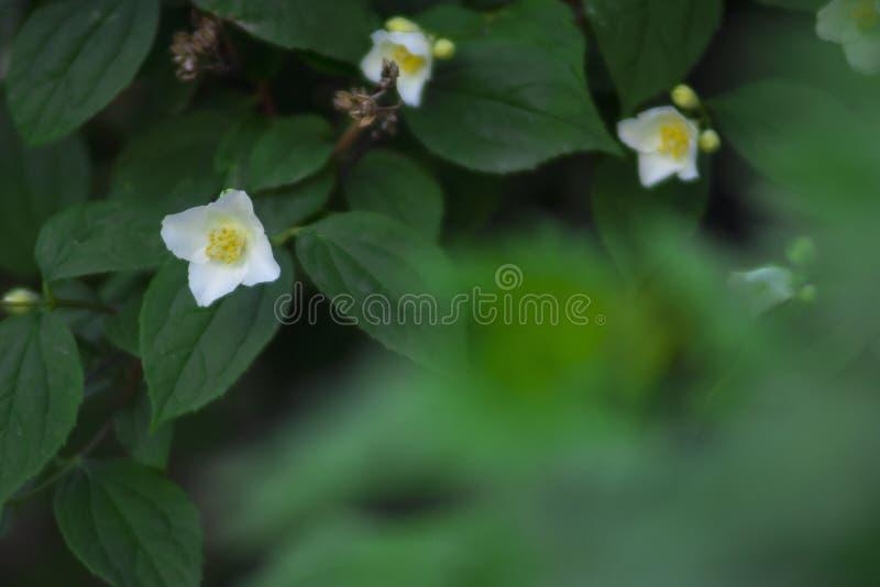 Fiori bianchi di fioritura piacevoli vicino su immagini stock libere da diritti