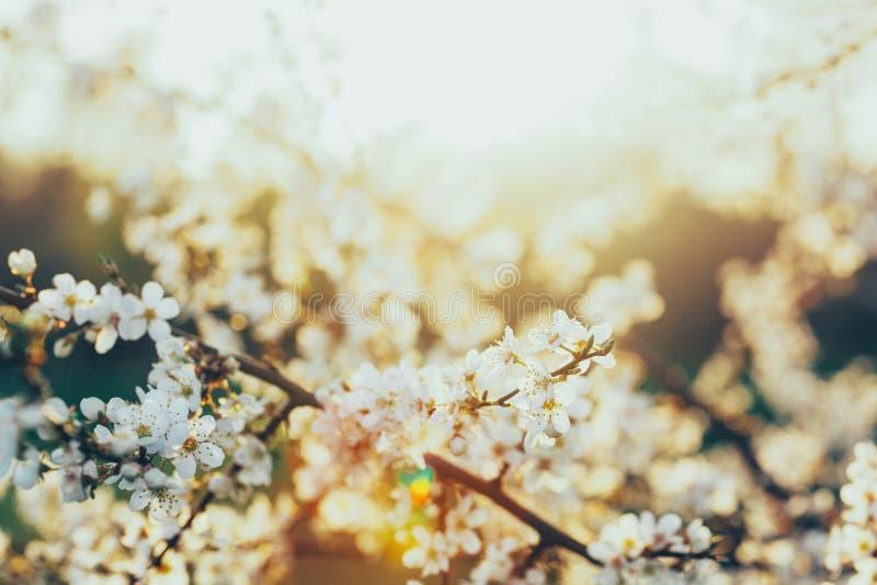Fiori bianchi di fioritura su un ciliegio nel tramonto fotografia stock libera da diritti