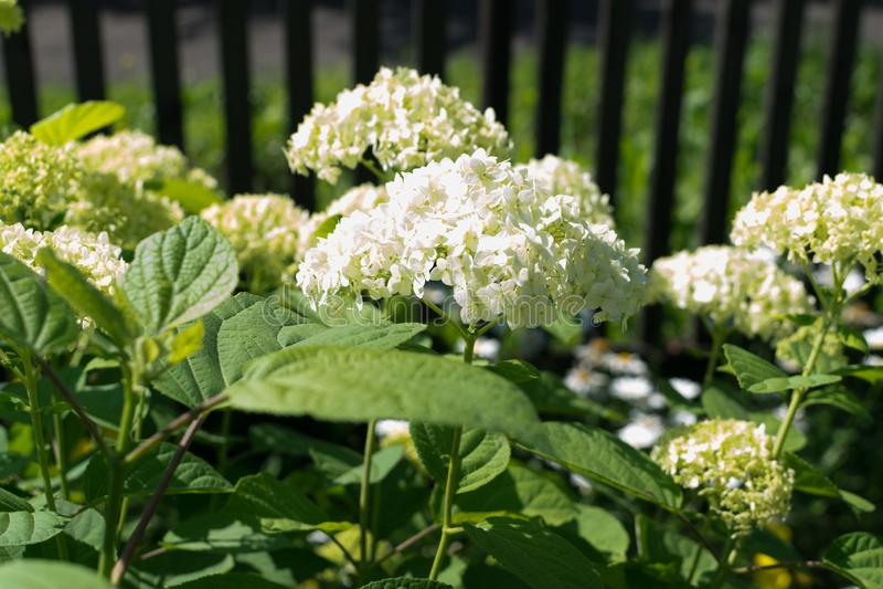 Fiori bianchi di hydrangea o chiusura di ortensia immagini stock libere da diritti