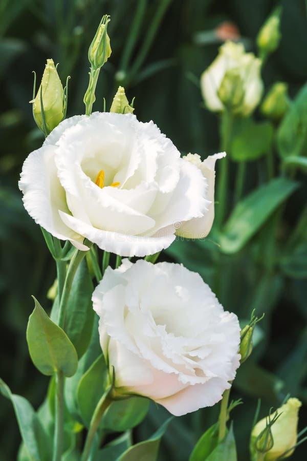 Fiori Bianchi Tipo Rose.Primo Piano Di Fioritura Delle Piante Di Eustoma O Di Lisianthus