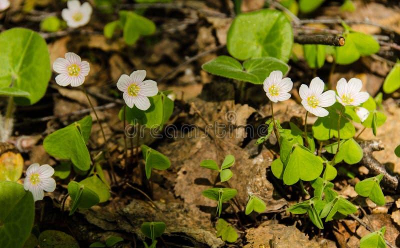 Fiori bianchi di oxalis fotografie stock libere da diritti