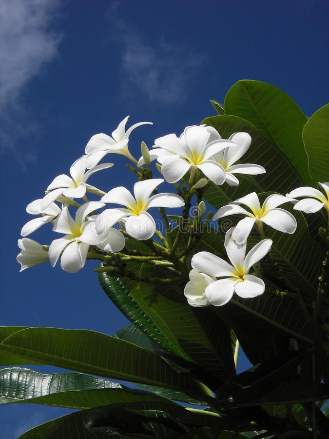 Fiori bianchi di plumeria fotografia stock libera da diritti