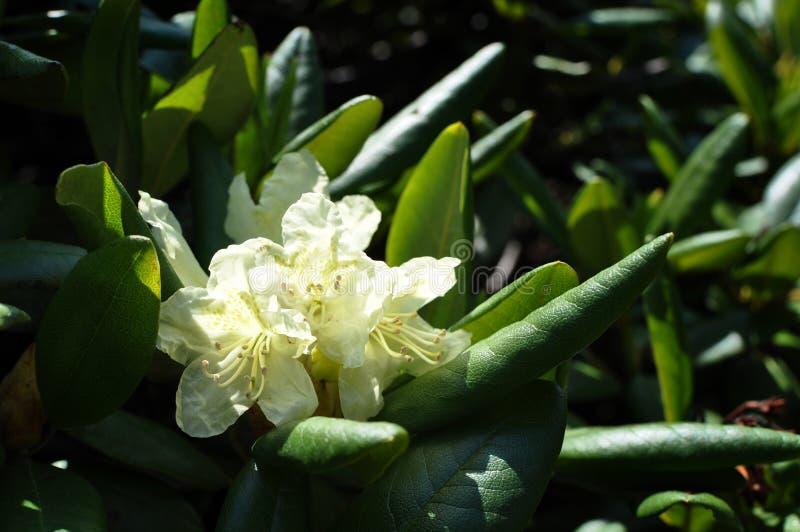 Fiori bianchi di rododendro fotografia stock