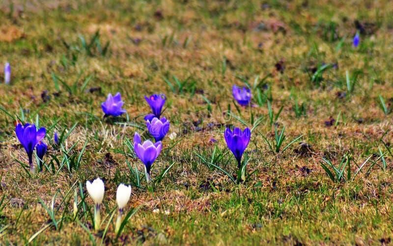 Fiori bianchi e blu scuro del giacimento di fiori del croco, al fondo dell'erba verde fotografia stock