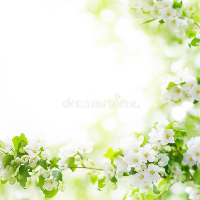 Fiori bianchi e foglie verdi sul primo piano vago del fondo del bokeh, ramo di fioritura di melo, fiore di ciliegia della molla immagine stock libera da diritti