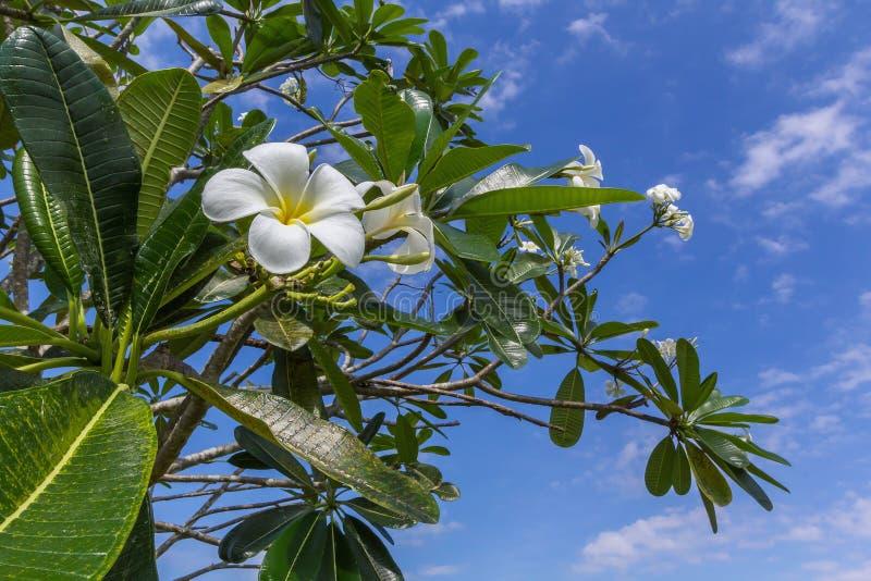 Fiori bianchi e gialli dei fiori di plumeria, con le foglie verdi e fotografia stock libera da diritti