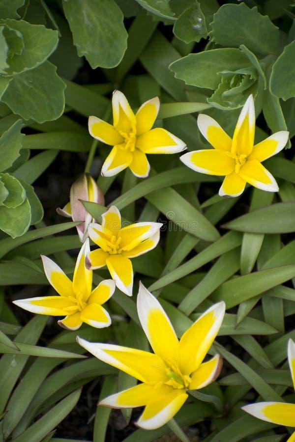 Fiori bianchi e gialli Fondo verde del campo il giorno soleggiato della molla Dente di leone di fioritura fotografia stock