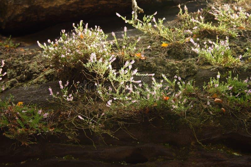 Fiori bianchi e muschio sopra le rocce fotografie stock