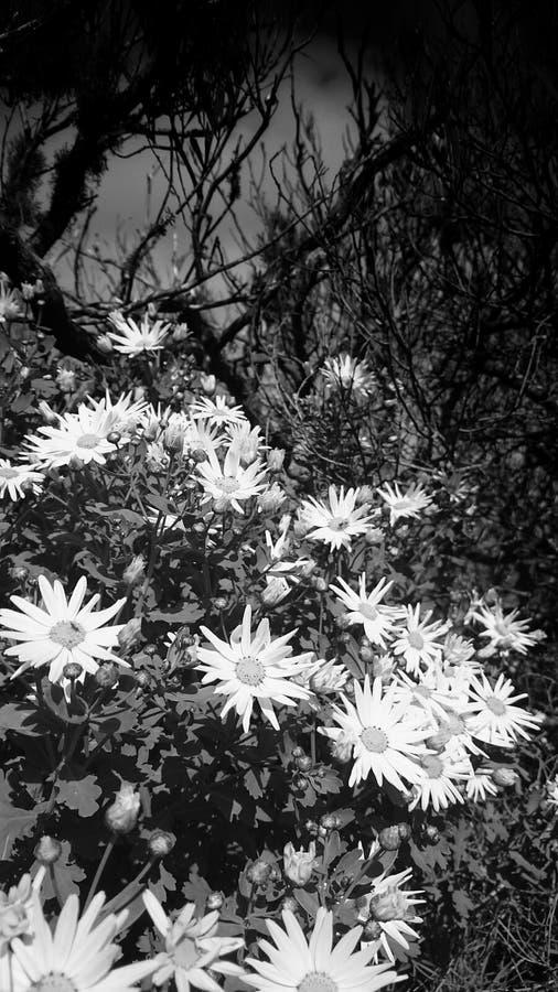 Fiori bianchi e neri fotografia stock libera da diritti