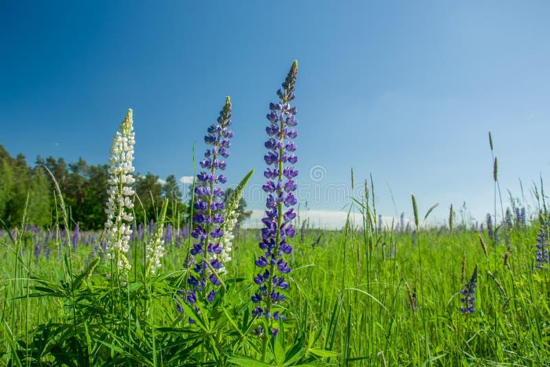 Fiori bianchi e porpora del lupino su un prato e su un cielo verdi fotografia stock libera da diritti