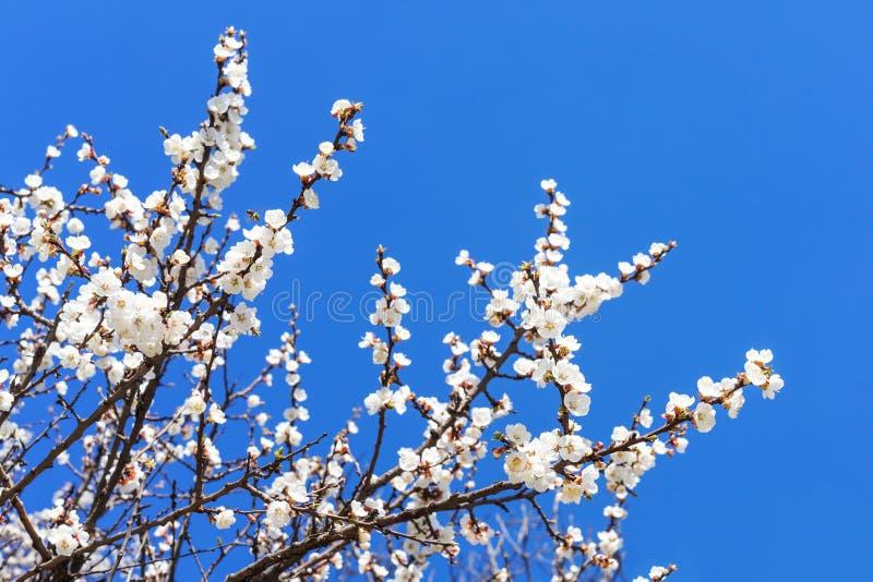 Fiori bianchi e rosa sui rami di albero dell'albicocca sopra contro il cielo blu fotografie stock libere da diritti