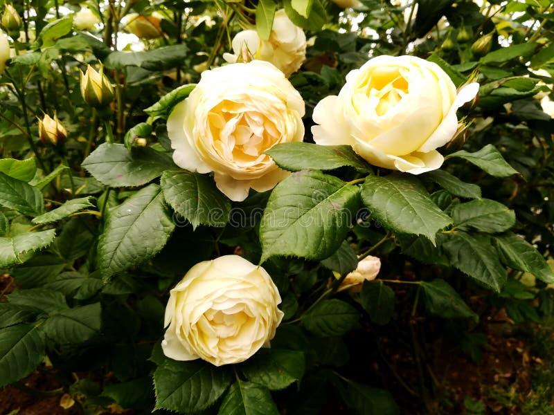 Fiori bianchi fra i cespugli fotografia stock