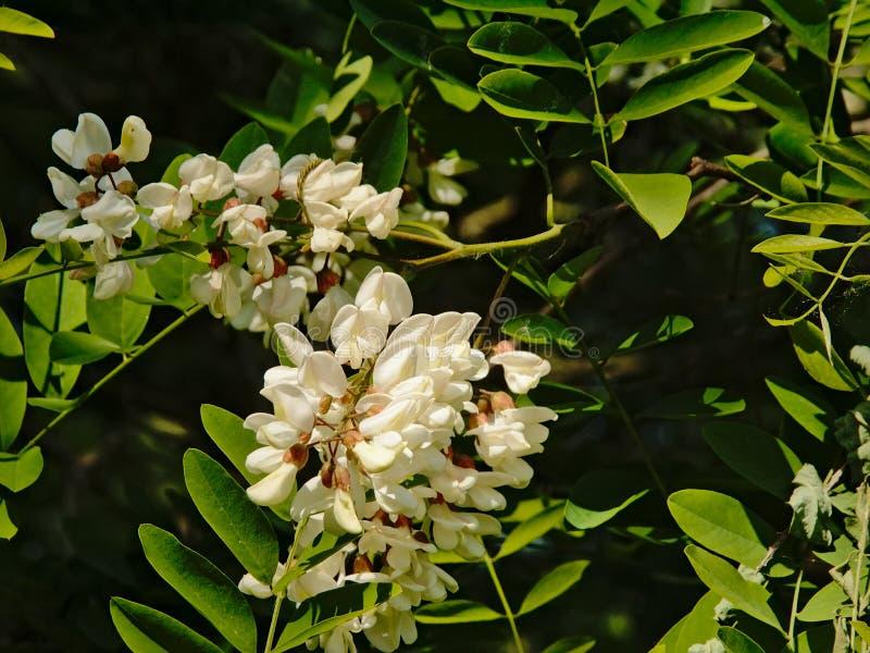 Fiori bianchi luminosi e foglie verdi di un albero di locusta nera fotografia stock