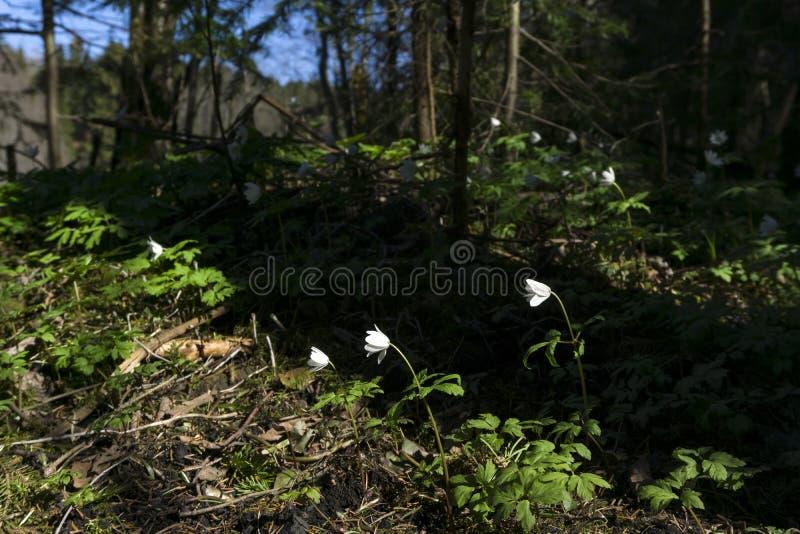 Fiori bianchi minuscoli delle primaverine immagini stock