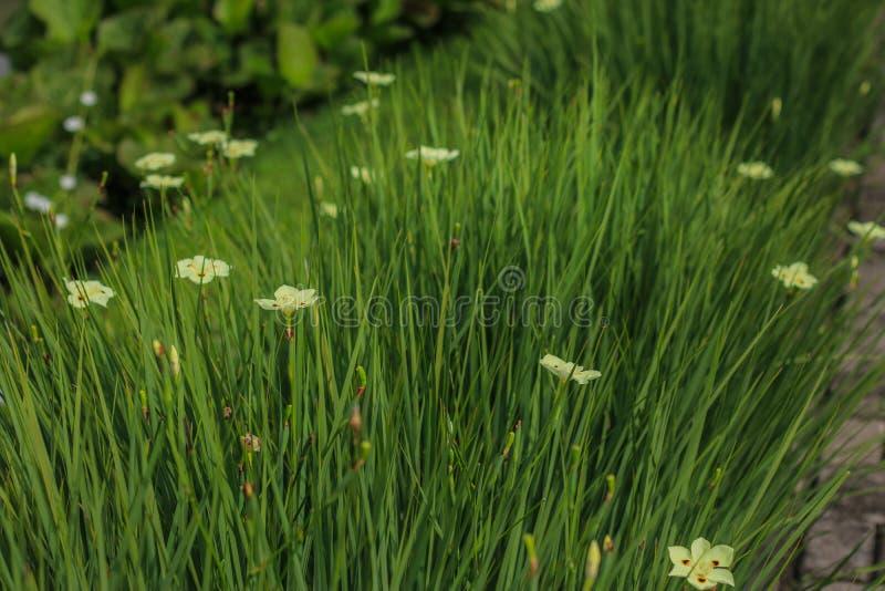Fiori bianchi nel giardino fotografia stock libera da diritti