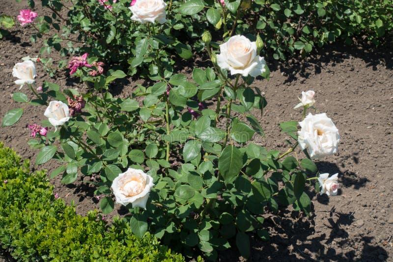 Fiori bianchi rosati pallidi della rosa immagini stock