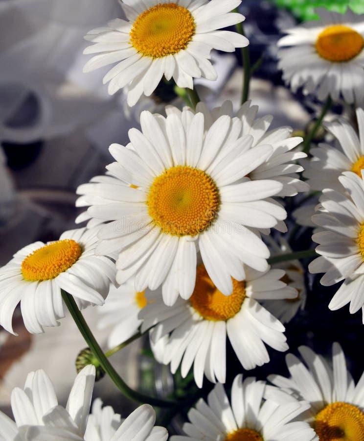 Fiori bianchi selvaggi della camomilla di bellezza fotografia stock libera da diritti