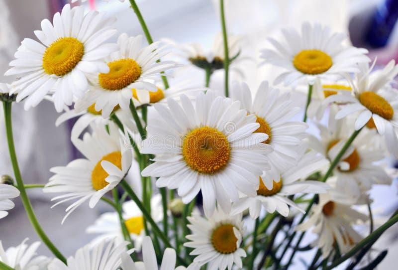 Fiori bianchi selvaggi della camomilla di bellezza immagini stock libere da diritti