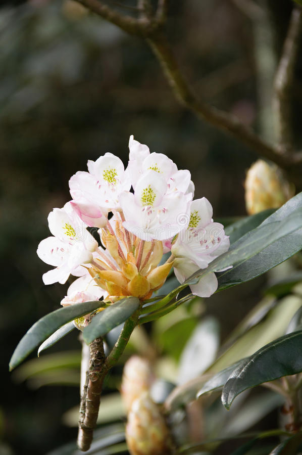 Fiori bianchi su un albero fotografie stock libere da diritti
