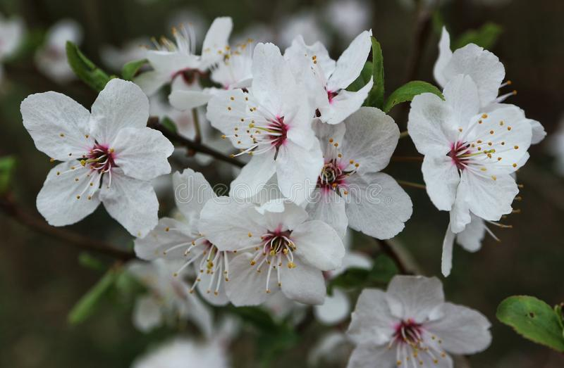 Fiori bianchi su un albero da frutto immagini stock libere da diritti