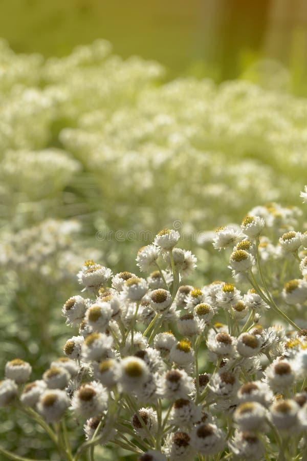 Fiori bianchi sui precedenti pieni di sole fotografia stock