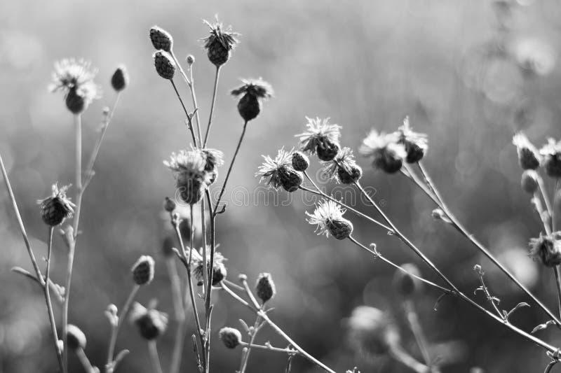 Fiori in bianco e nero del cardo selvatico fotografia stock libera da diritti