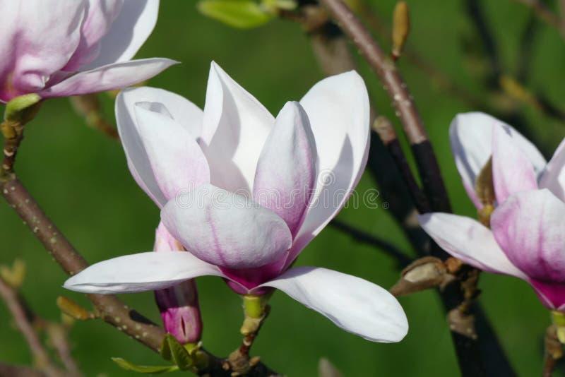 Fiori bianco-rosa 07 della magnolia della molla in anticipo immagini stock
