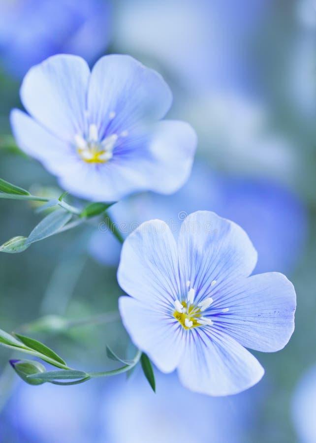 Fiori blu del lino fotografia stock libera da diritti