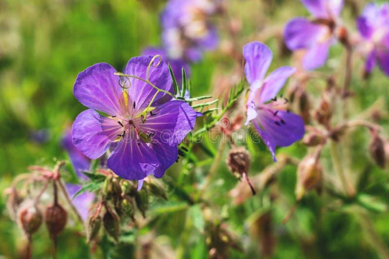 Fiori blu delicati del pratense del geranio del geranio del prato Fiore selvaggio Una floricultura del geranio su un prato di est immagini stock