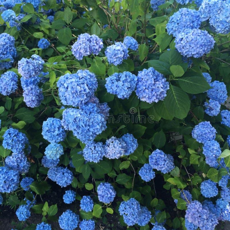 Fiori blu dell 39 ortensia immagine stock immagine di - Ortensia blu ...