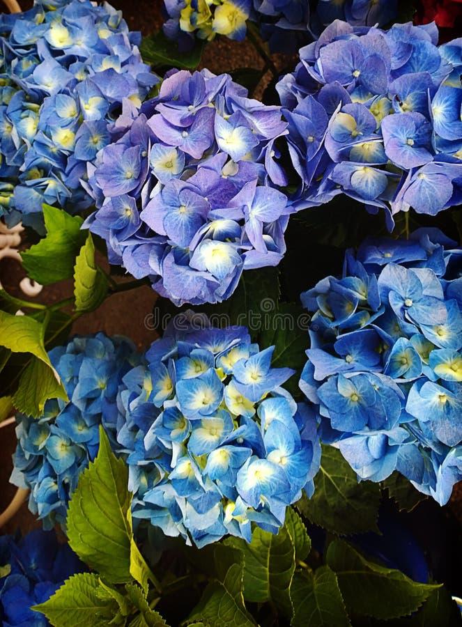 Fiori blu dell'ortensia immagini stock