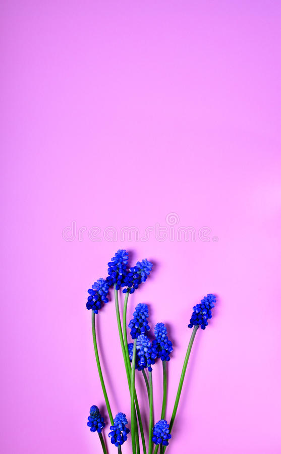 Fiori blu della molla su una superficie rosa immagini stock libere da diritti