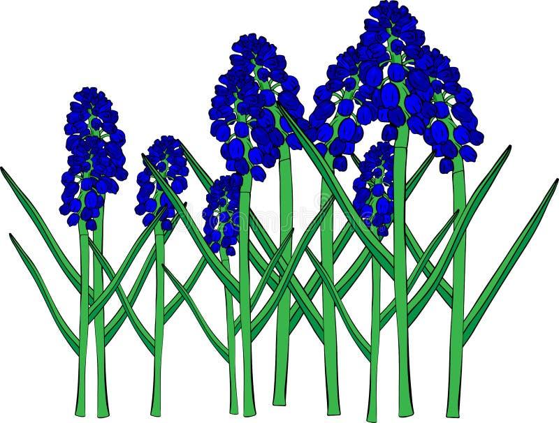 Fiori blu della molla, un fiore del muscari o un giacinto del topo illustrazione di stock