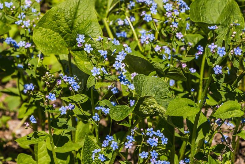 Fiori blu della primaverina dei fiori del nontiscordardime con la bella fioritura delle foglie verdi in primavera immagini stock libere da diritti