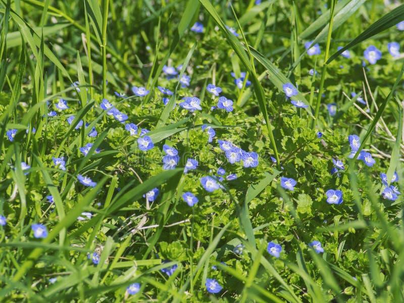 Fiori blu di fioritura piacevoli fra erba verde fotografia stock libera da diritti
